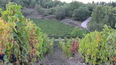 Long rows of vines with mature lush bunches of grapes Stock Footage