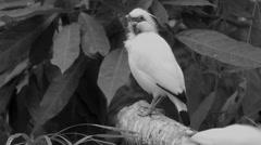 Bali myna (Leucopsar rothschildi) Stock Footage