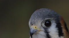 Kestrel with shallow depth of field Stock Footage