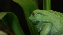 Wax frog sitting on leaf in jungle Stock Footage