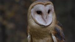 Barn owl close up captivity Stock Footage