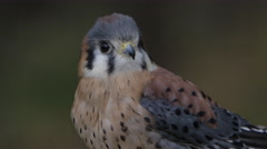 Kestrel close up with view of feathers Stock Footage