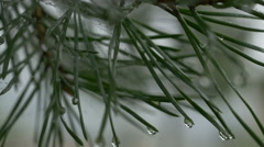 Branch of a pine tree with rain drops. Water drops on pine tree needles Stock Footage