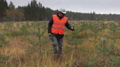 Forester checking new growth pine Stock Footage