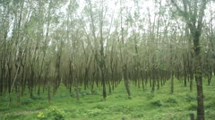 Rubber tree plantation view from car driving Stock Footage