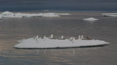 A number of seagulls on an ice floe. Stock Footage