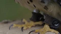Kestrel tilt up captive bird Stock Footage