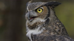Horned owl intense look shallow background Stock Footage