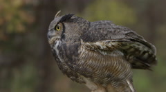 Horned owl standing side profile Stock Footage