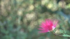 Most Beautiful Pink Flower Plant 4K Footage Bokeh Background Stock Footage