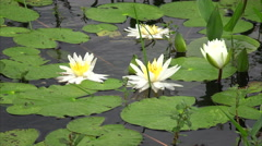 Lily Pads and Flowers in Louisiana Marsh at Cameron Prairie Wildlife Refuge Stock Footage