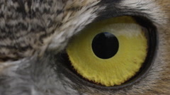 Horned Owl Close up slow blink eye Stock Footage