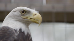 Captive Bald Eagle in Pen outdoors Stock Footage