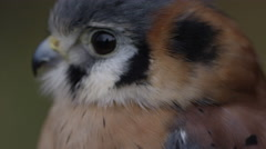 Kestrel tilt from face to feathers Stock Footage