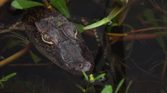 Close-up of Baby / Juvenile Alligator in Louisiana Swamp Stock Footage