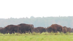 European Bison. The males chase the females. Rutting season. Stock Footage