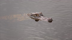 Alligator in Swamp at Cameron Prairie National Wildlife Refuge in Louisiana Stock Footage