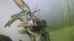 Lobster in attacking the rack Stock Footage