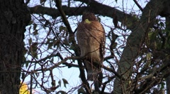 Coopers hawk bird of prey perched on a branch in the forest Stock Footage
