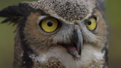 Horned owl slow motion look around Stock Footage