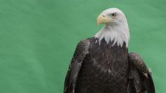 Bald eagle medium body shot looking sideways then at camera Stock Footage