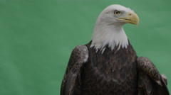 Bald eagle looking right then front on green Stock Footage