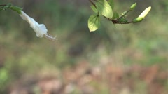 White Bud with Bokeh Effect Nature Background Stock Footage