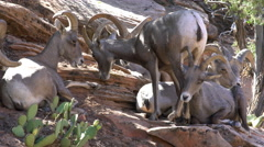 Big Horn Sheep on hillside in Zion Stock Footage