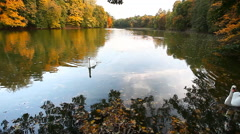 White swans on a pond, autumn, nature, scenic landscape Stock Footage