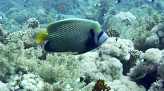 Emperor Angelfish Pomacanthus imperator on Coral Reef Stock Footage