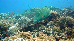 Napoleon Fish on Coral Reef, underwater scene Stock Footage