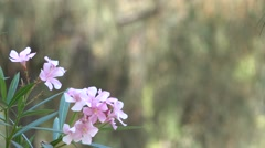 White Pink Flower Plant Nature Background 4K Footage Bokeh Effect Stock Footage