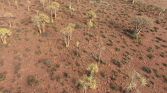 Low flying aerial view of quiver trees, Northern Cape, South Africa Stock Footage