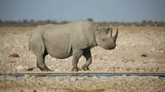 Black rhinoceros drinking water, Etosha National Park, Namibia Stock Footage