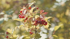 Red berries and yellow autumn leaves on the bushes Stock Footage