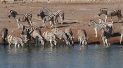 Plains zebras drinking water, Etosha National Park, Namibia Stock Footage