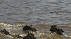 A crocodile attacks a young wildebeest in the mara river Stock Footage