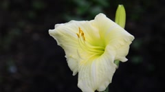Light yellow daylily flower in the flowerbed Stock Footage