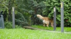 Labrador retriever running towards camera with a ball Stock Footage