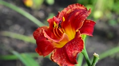 Red terry daylily flower in flowerbed Stock Footage