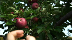 Hand picks an apple from the branch Stock Footage
