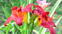 Scarlet terry daylily flower in flowerbed Stock Footage