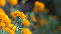 4K Marigold Flower Footage with Bokeh Effect Stock Footage