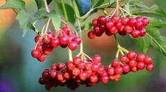 Ripe viburnum berries in late summer Stock Footage