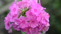 Beautiful pink phlox inflorescence closeup Stock Footage