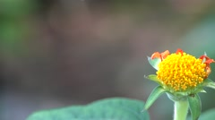 Marigold Flower Bud Closeup with 4K Bokeh Background Stock Footage