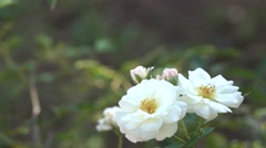 4K Beautiful White Rose Flowers with Buds Bokeh Background Stock Footage