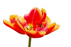 One red tulip flower on white background Stock Photos