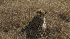Medium shot of a sitting female cheetah in masai mara, kenya Stock Footage