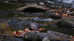 4K North American river otter Stock Footage